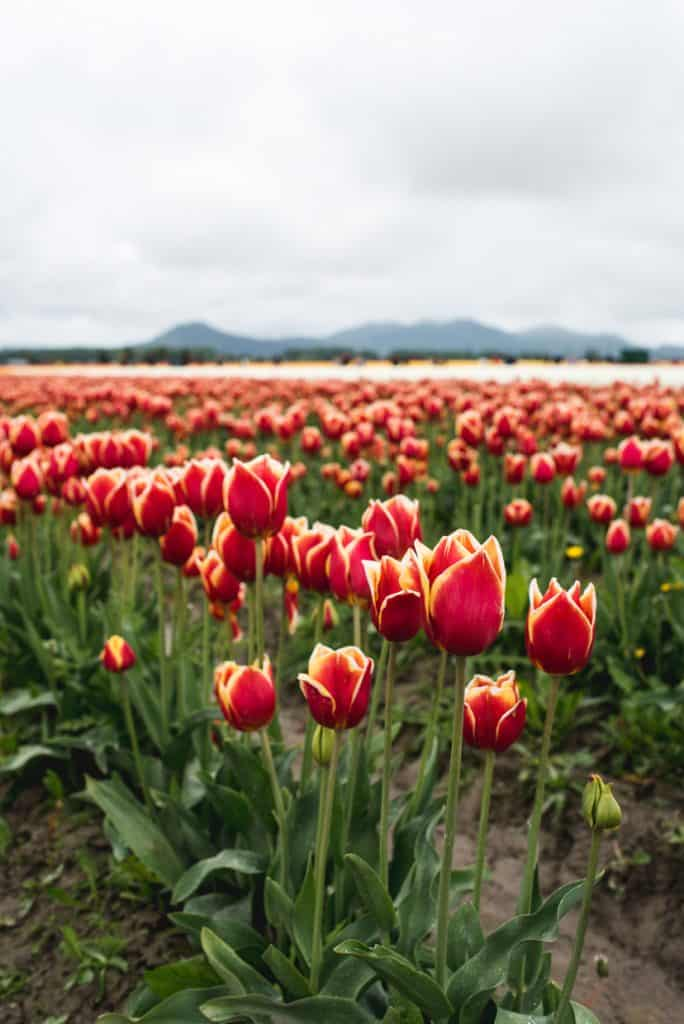 Skagit Valley Tulip Festival | Free and Cheap things to do in Seattle