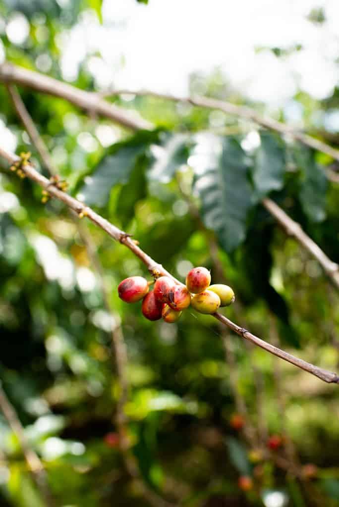 Heavenly hawaiian coffee
