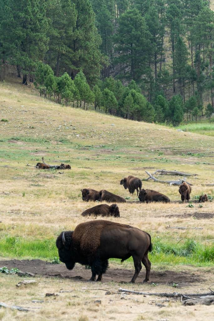 Wildlife Loop  Things to do in Custer State Park